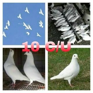 VENTA DE LOVEBIRDS Y PALOMAS BLANCAS MENSAJERAS