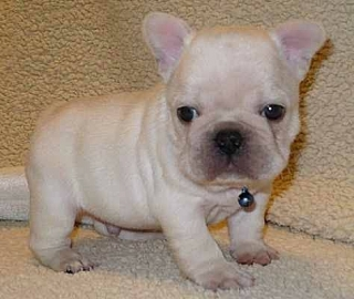 french bulldog puppies boy and girl ready