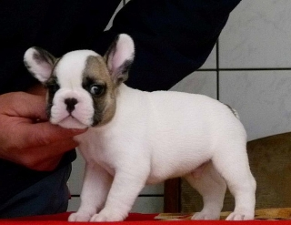 Regalo Minibulldog - Bulldog Frances Espectaculares