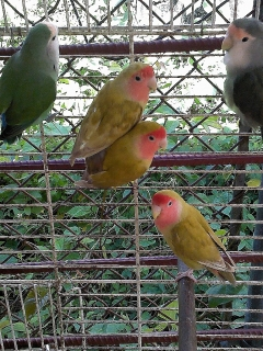 LOVEBIRDS Y COKATIELES