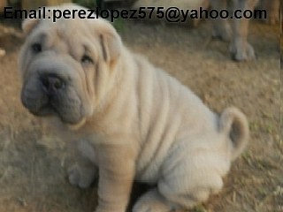 shar pei cachorros disponibles