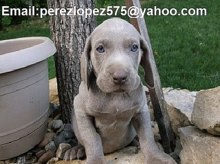 Weimaraner cachorros disponibles