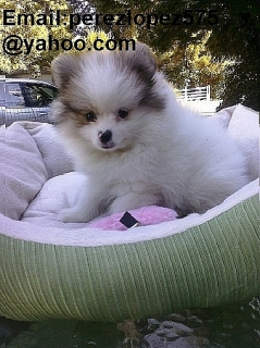 Cachorros de Pomerania disponibles