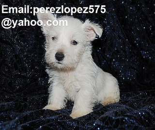 cachorros West Highland Terrier disponibles