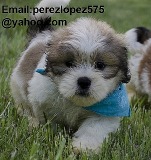 Lhasa Apso cachorros disponibles