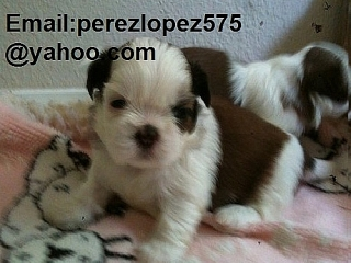 Shih Tzu    cachorros disponibles