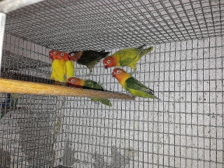 Lovebirds Ficher Agapornis