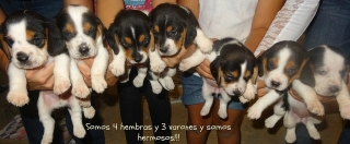BEAGLES HERMOSOS!!!