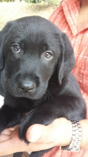 Hermoso labrador puro color negro