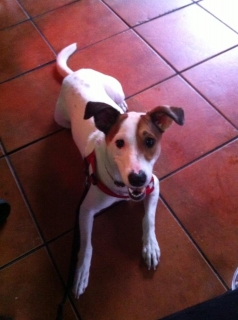 Rusty Jack Russell Terrier mix