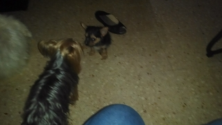 yorkies macho de 2 meses