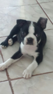 VENDO PERRITO BOSTON TERRIER
