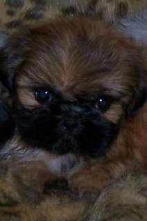 TINY TOY SHIH TZU