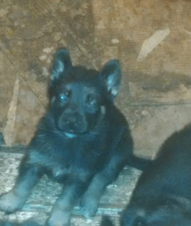 GERMAN SHEPHERDS PARA LA VENTA !!! $125 GANGAAAAAA