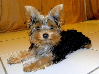 Venta de 2 Perritos Yorkshire Terriers (Yorkies)