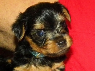 Venta de 4 Perritos Yorkshire Terriers (Yorkies)
