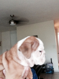 Venta English bulldog