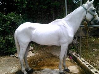 caballo moro