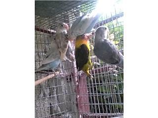LOVEBIRDS A 30 CADA UNO APROVECHA
