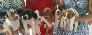 Hermosos cachorros Pitbull Puros