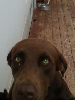 Labrador macho busca novia