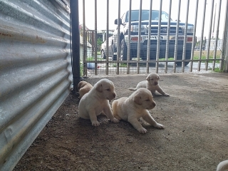 Hermosos Labradores