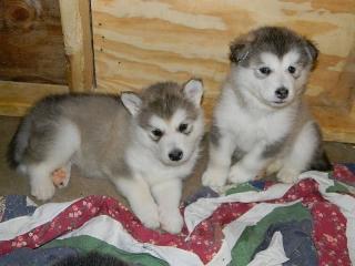 Adorable 8 semanas de edad cachorros Alaskan Malamute