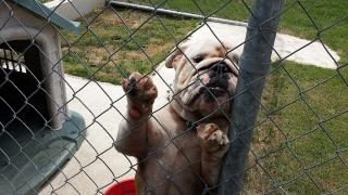 Bulldog ingles para venta