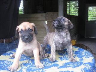 Preciosos cachorros presa-dogo canario