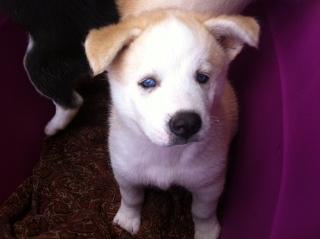 Siberiam Husky puppies