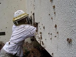 Apicultor Servicio de remoción de abejas