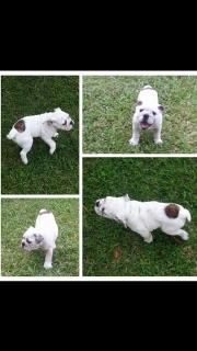 English bulldog hembra
