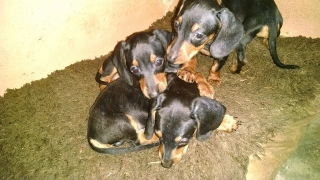venta de perros Dachshund (salchichas)