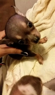 Chihuahuas para la venta