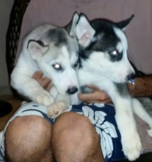 Siberian Huskies puppies de raza