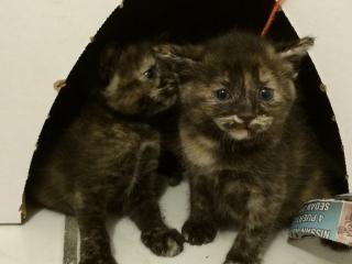 Se regalan gatitos de dos meses con vacunas