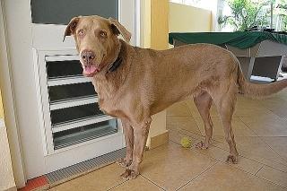 Labrador 3,5 anos para adopcion