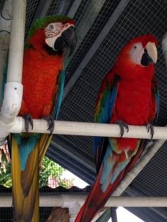 Preciosa pareja de Guacamayos