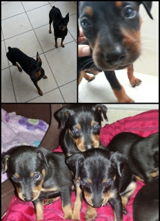 "Vendo ""Miniature Pinscher"""