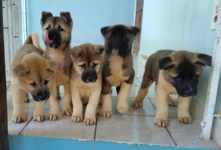 Akitas puppies preciosos