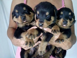 rottwelier puppys for sale