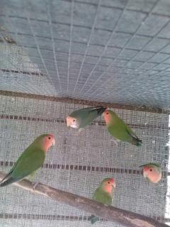 LOVEBIRDS REGULARES VARIEDAD A ESCOGER LEE