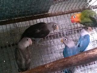 LOVEBIRDS ANILLADOS VARIEDAD A ESCOGER LEE