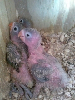 LOVEBIRDS PARA CRIAR A MANO APROVECHA