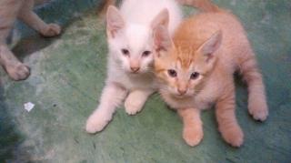 se regalan lindos gatitos siamese