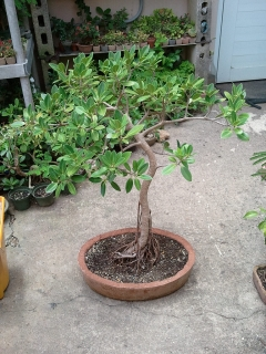 Lindo Bonsai de Ficus Green Emerald