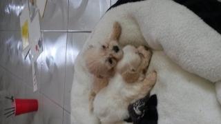 Malti-poo puppies