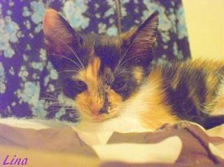 Hermosa Kitten Calico Busca un Hogar