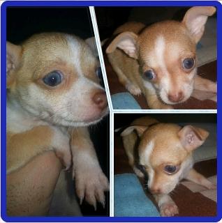 Preciosa perrita chihuahua de ojos azules red nose