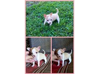 Pocket Chihuahua Hembra Blanca y Crema